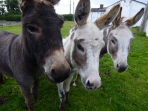130906_donkeys